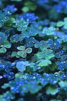 "The blue-green clover in this photo is absolutely beautiful. If there were a clover this color, I'd want it everywhere. But, I'm not convinced that the color is entirely natural or if it has been ""enhanced."