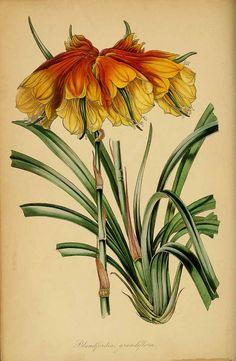 189200 Blandfordia grandiflora R. Br. / Magazine of botany and register of flowering plants [J. Paxton], vol. 7: p. 219 (1839)