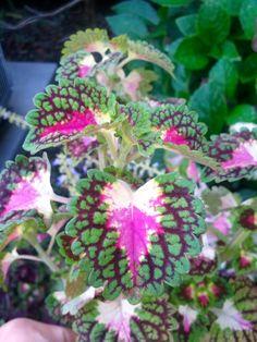 in my garden this year: coleus