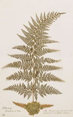 King Tawhiao's fern collection University Of Western Ontario, Ancient Artifacts, Ferns, Healing, Museum, Collections, King, Culture, History