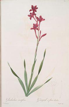 Gladiolus strictiflorus [Watsonia humilis ; Glaïeul à flleurs droites] (1805-1816)
