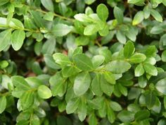 saxifraga 39 peter pan 39 pink mossy saxifrage height. Black Bedroom Furniture Sets. Home Design Ideas