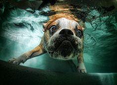 A bulldog exploring under the water.