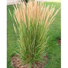 Blooming now & deer resistant - Karl Foerster Feather Reed Grass