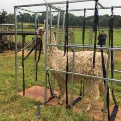 young llama tries the chute for the first time Alpacas, Livestock, Party, Animals, Fiesta Party, Animaux, Animal, Animales, Parties