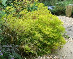 Euphorbia Stricta Golden Foam