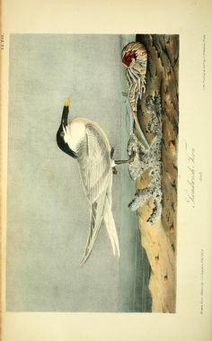 v 7 - The birds of America : - Biodiversity Heritage Library