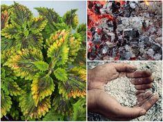 Egy teáskanál cukrot szórt a növények földjére mielőtt megöntözte, azóta rengeteg virágot hoznak! - Bidista.com - A TippLista! Kustom, How To Dry Basil, Herbs, Vegetables, Fruit, Garden, Plant, Garten, Lawn And Garden