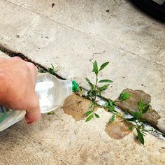 Vinegar! A Cheap and Easy Weed Killer!