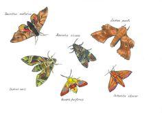 IL·LUSTRACIÈNCIA: Sphingidae - Valeria Kanatchikova