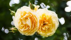 Alte gelbe Rosen   Rosen . Garten . roses . garden   Rheinland . Eifel . Koblenz . Gut Nettehammer  