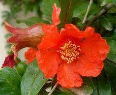 Pomegranate Blossom (Punica granatum) ... Mature elegance