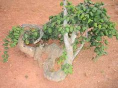 CAUDICIFORM Adenia cladosepala