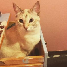 Hanging out beside me while I sob my way through another Outlander book. Dork in the bedside table drawer. #kitten #cat #cute #aww #adorable #siamese by classicallyzo http://www.australiaunwrapped.com/
