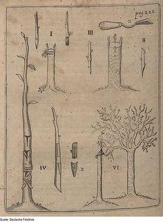 Vom Samen bis zur Ernte: Pflanzenveredelung. Die Veredelung ist einer der unglaublichen Tricks aus dem Repertoire...