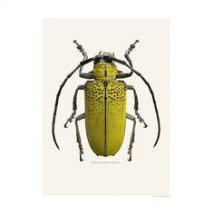 Insect Print - Celosterna Pollinosa Sulphura