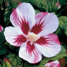 Red Heart Rose-of-Sharon Plant Height 8 ft Plant Width 5 ft Light Requirements Full Sun, Part Shade