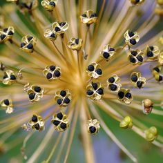 A star burst of seed pods
