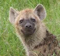 The Hyena would say this: I am a visionary--I am the cusp between canine and feline. Some people don't like my mixed traits and thus been reviled by many cultures. Happy Animals, Animals And Pets, Funny Animals, Cute Animals, Wild Animals, African Wild Dog, Wild Dogs, African Animals, African Art