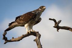 African Hawk Eagle. Motswari Game Preserve.