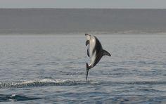https://flic.kr/p/BacnfQ | Dusky dolphins 11