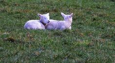 New Welsh lambs    http://www.flickr.com/photos/vonniepyn/4351701332/#