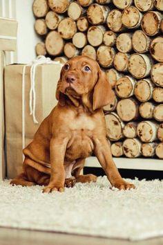Love the baby wrinkles! Vizsla Dog Breed, Vizsla Puppies, Dog Breeds, Dogs And Puppies, Doggies, Animals And Pets, Baby Animals, Funny Animals, Cute Animals