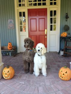 We really are tea cup poodles . This is our Halloween costumes!!