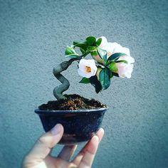 椿ふれあいCamellia japonica #japan #bonsai # 盆栽