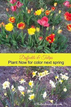 It is not too early to be thinking about spring. Fall is the best time to plant spring flowering bulbs.  http://thegardeningcook.com/tulips-daffodils/