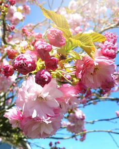 Have you reached peak blossom yet? I think we're just about there! This deliciously frothy pink concoction of a tree is my best local… Instagram Accounts, I Am Awesome, In This Moment, Plants, Pink, Plant, Pink Hair, Roses, Planets