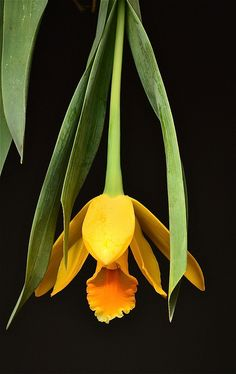 Encyclia citrina or tulip orchard, is a species of orchid with a strong lemon fragrance.