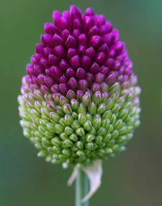 Drumstick allium; what a beautiful and unusual plant!