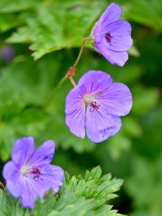 When it comes to flower power, few perennials can compare to perennial geranium. - Home Decor -DIY - IKEA- Before After Flowers Perennials, Planting Flowers, Flower Gardening, Purple Perrenial Flowers, Planting Plants, Vegetable Gardening, Container Gardening, Cottage Garden Plants, House Plants