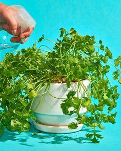 The Dos and Don'ts of Growing Cilantro - 17 plants Patio how to grow ideas Parsley Plant, Cilantro Plant, Coriander Cilantro, Basil Plant, Container Gardening, Gardening Tips, Organic Gardening, Indoor Gardening, Gardening Scissors