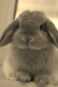 A cute little bunny Lop Bunnies, Cute Baby Bunnies, Funny Bunnies, Cute Babies, Super Cute Animals, Cute Little Animals, Mini Lop, Fluffy Bunny, Doja Cat