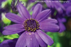 Purple Cineraria Flower Fine Art Photo Print by BeckyTylerArt