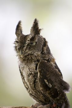 Screech Owl - Naturescope by Micah A. Ponce (Can that be his real name? Scary Alien, Scary Faces, Funny Owls, Funny Birds, Owl Photos, Owl Pictures, Owl Bird, Pet Birds, Raptor Bird Of Prey