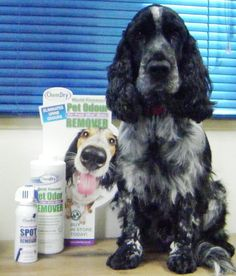 """Me demonstrating our Chem-Dry product to tackle """"puppy puddles"""" Max Meet The Team, Rug Cleaning, Family Business, This Is Us, Puppies, Pets, Twitter, Animals, Animals And Pets"""