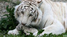 A tigresa branca de bengala Tigryulia, de três anos, cuida de um de seus filhotes em zoológico da cidade de Yalta, na Ucrânia