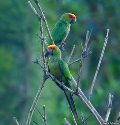 Golden-capped Parakeet ( South America)