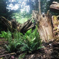 Beautiful new ferns planted in the stumpery. #victorianstyle #stumpery #ferns #hostas #fernery #woodland #woods #forest #instaphoto #instagram #instalike #instamood #instadaily #instafollow #garden #glade