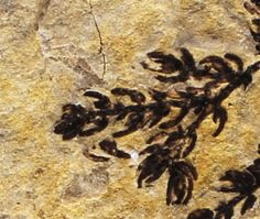 A close up view of some of the plant fossils, one of the earliest known flowering plants - Montsechia.