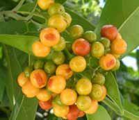 """Jobo es un Árbol frutal de Tahití y de América, cuyos frutos reciben el nombre de ciruela de agua y de ciruela colorada. Se le asocia con la frase dominicana: """"Chivito harto de jobo""""."""