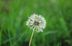 Dandelion, Flowers, Plants, Dandelions, Plant, Taraxacum Officinale, Royal Icing Flowers, Flower, Florals