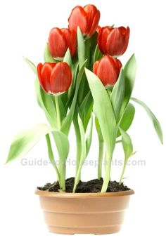 Growing tulips indoors. Discover how to plant tulip bulbs indoors and enjoy mid-winter blooms, best time to plant tulips, care tips and more.