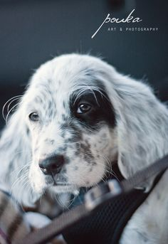 English Setter puppy. Sparrow - Coming Home. I want that dog more than anything right now. I cannot even explain.
