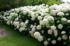 Unlike the better known blue and pink hydrangeas, Annabelle blooms every year even after severe pruning or intensely cold winters. Description from daylilynursery.com. I searched for this on bing.com/images
