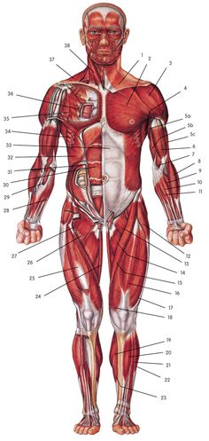 The muscle diagram unlabled http://papasteves.com