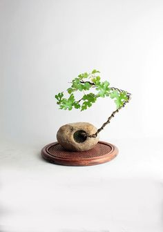 """Mulberry Bonsai tree """"Fall'16 Fruiting Collection"""" by Live Bonsai Tree"""" by LiveBonsaiTree on Etsy"""